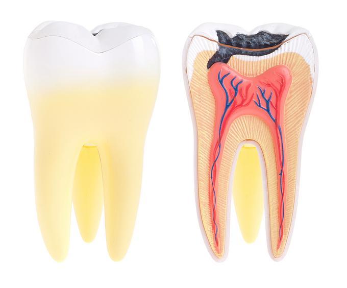 bigstock_Tooth_Anatomy_18047948
